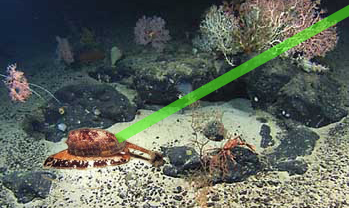 green laser points to dangerous cone shell